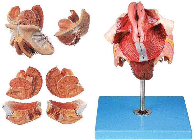 并显示女性内,外生殖器官,盆腔脏器以及女性会阴等结构,共有40个部位
